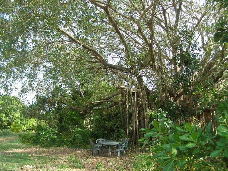 Impressive banyan in the garden
